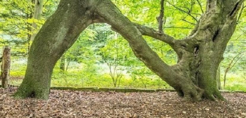 شجرة بشكل حرف N تفوز بلقب أفضل شجرة في بريطانيا