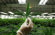 هاليفاكس الأولى في كندا من حيث معدل استهلاك الماريجوانا للفرد