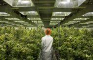 فرص العمل سانحة في قطاع الماريجوانا