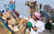 انطلاق أول أشواط المرحلة الختامية بمهرجان ولي العهد للهجن بالسعودية